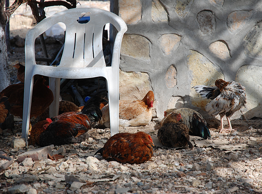 Chicken with chair
