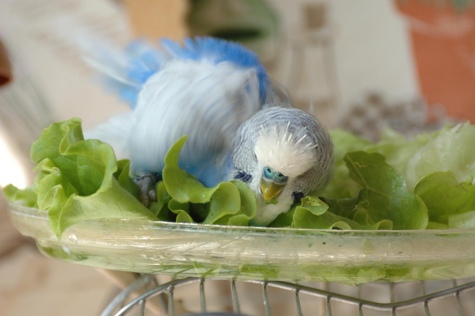 Chicken Wrap - Luke rollt im Salat