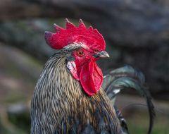 ChickenChief