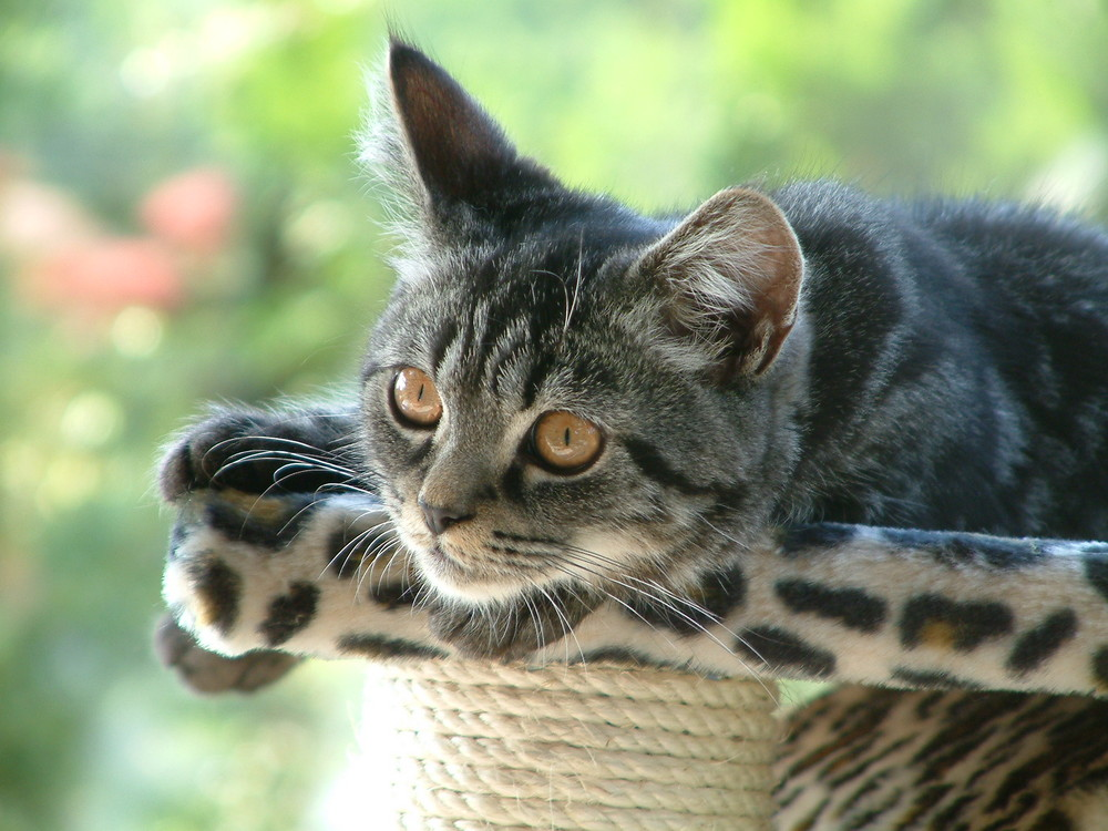 Chico auf seinem Katzenbaum