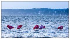 Chiemsee-Flamingos