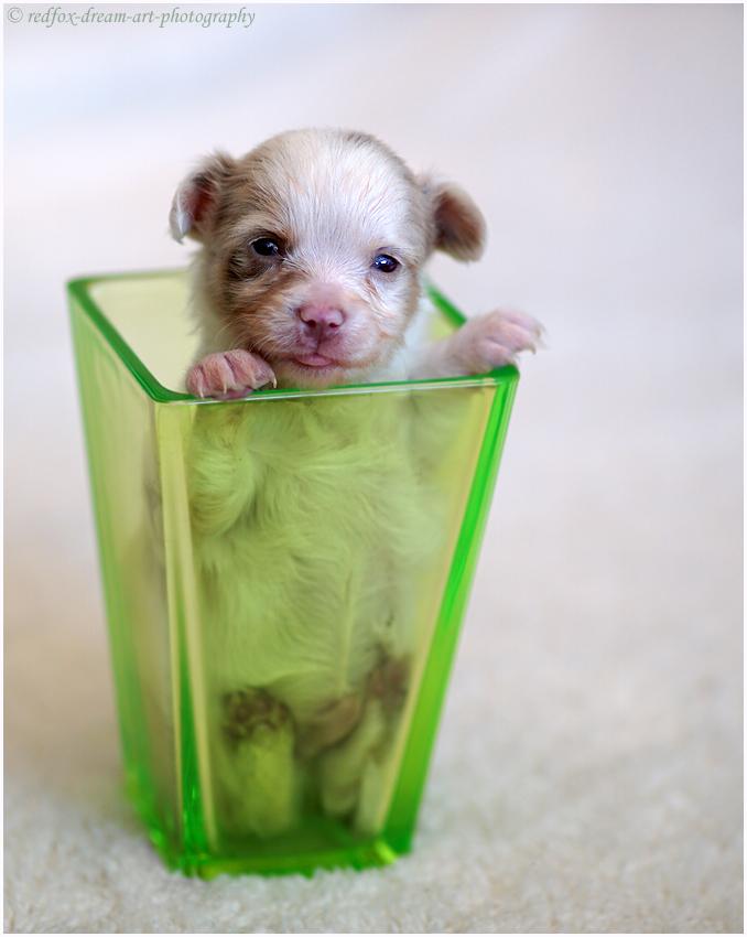 Chihuahua-chiot