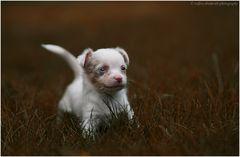 chihuahua- chiot