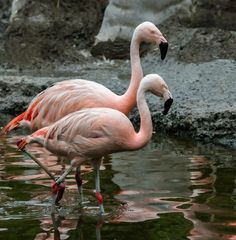 Chile-Flamingeo-Zoo-ZH