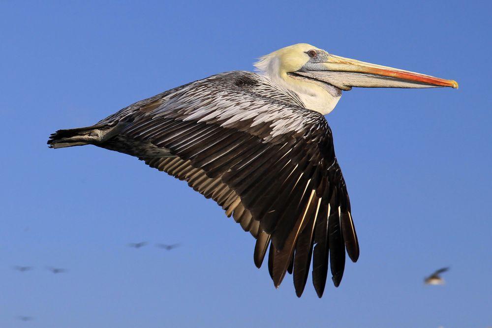 Chile Pelikan