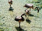 Chilean Flamingo Baby`s (Jungtiere)
