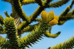 Chilenische Araukarie (Affenschwanzbaum)