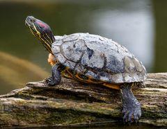 """Chillende""  Rotwangen-Schmuckschildkröte"
