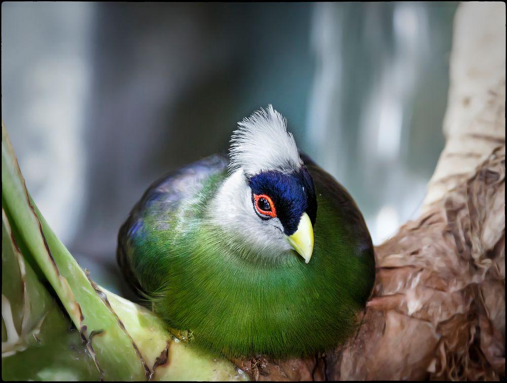 """Chillender prachtvoller Vogel """"Weißhaubenturako"""""""