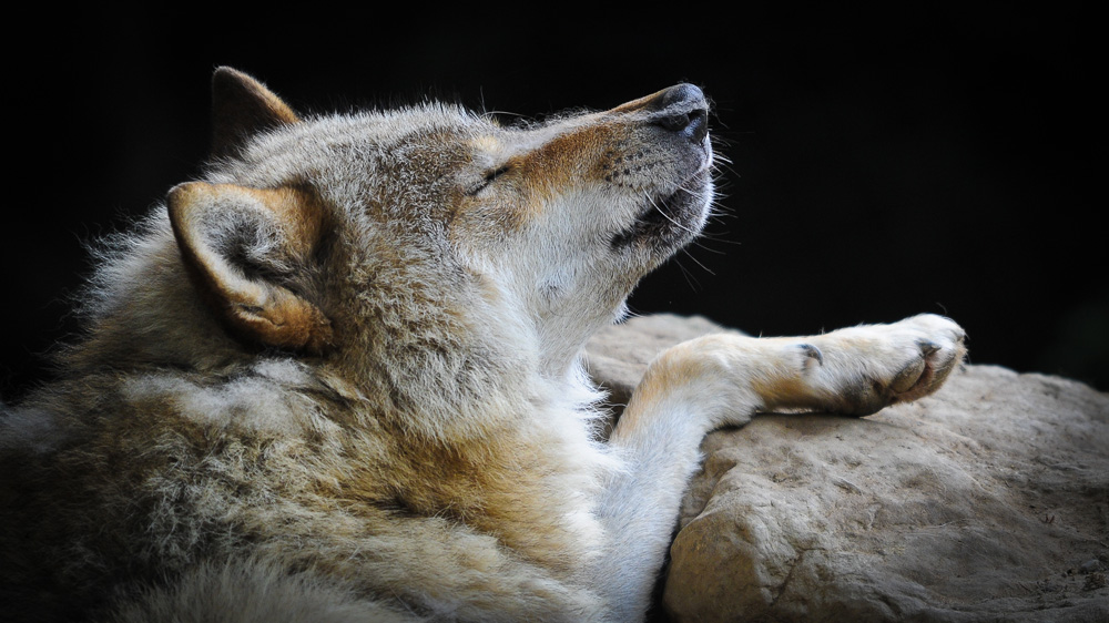 Chilling Wolf