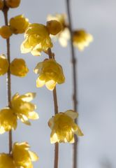 Chimonanthus-2