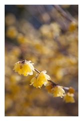 Chimonanthus-4