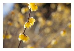 Chimonanthus-5