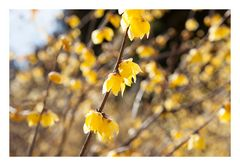 Chimonanthus-6