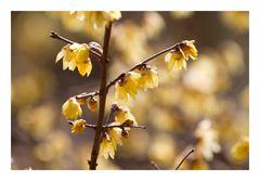 Chimonanthus praecox-1