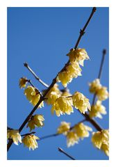 Chimonanthus praecox-2
