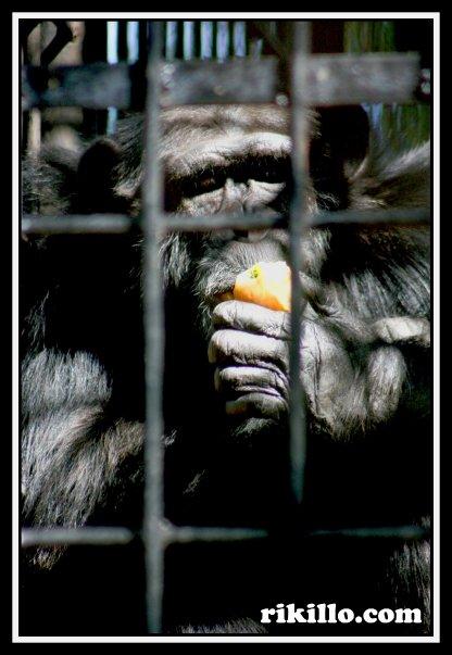 Chimpance en cautiverio.