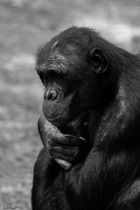 Chimpanzée