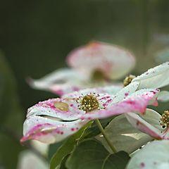 chin. Blumenhartriegel