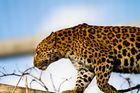 China-Leopard im Karlsruher Zoo 2011