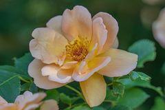 China-Rose