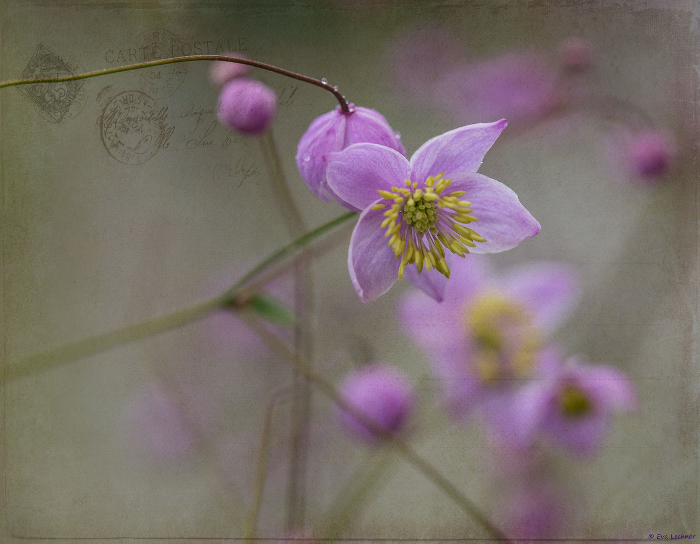 Chinese Meadow-Rue