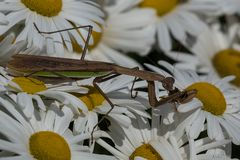 Chinesen-Mantis