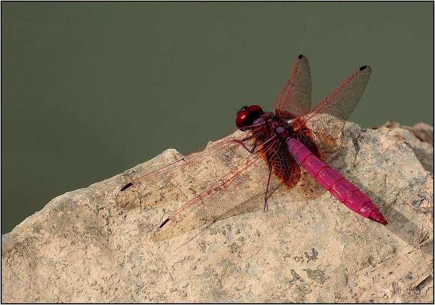 chinesische Libelle
