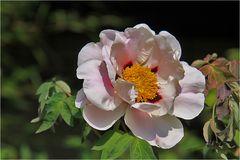 Chinesische Paeonienblüte