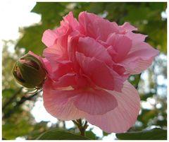 Chinesische Rose in der Geisterstadt, Fengdu