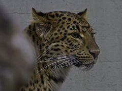 Chinesischer Leopard / Mammalia