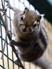 Chinesisches Streifenhörnchen
