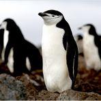 [ Chinstrap Penguins • Penguin Island ]
