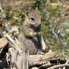 Chipmunk, Bryce Canyon