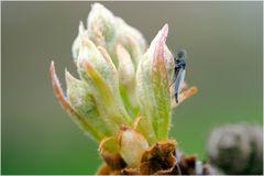 Chironomide sur bourgeon de poire