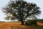 Chêne Forêt domaniale de la Sainte Baume 13,83