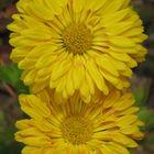 chrisanthemum 2