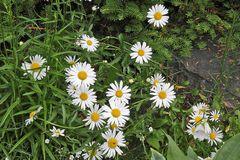 Chrisanthemum spec.