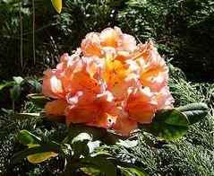Christi Himmelfahrt - Orange Rhododendron