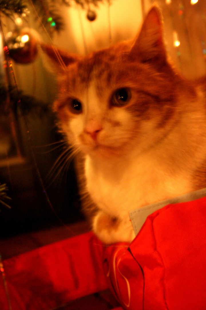 Christmas cat...