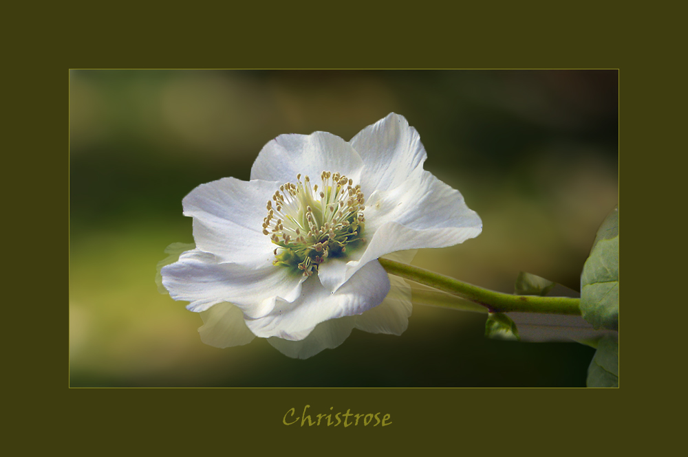 Christrose..