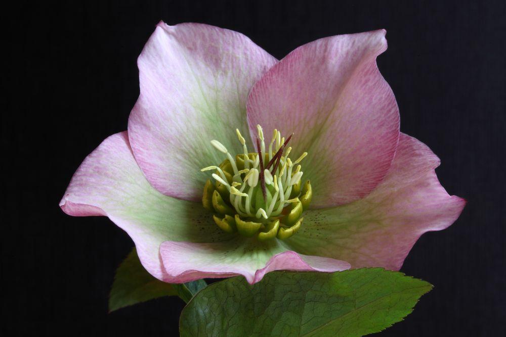 Christrose Pflanzen