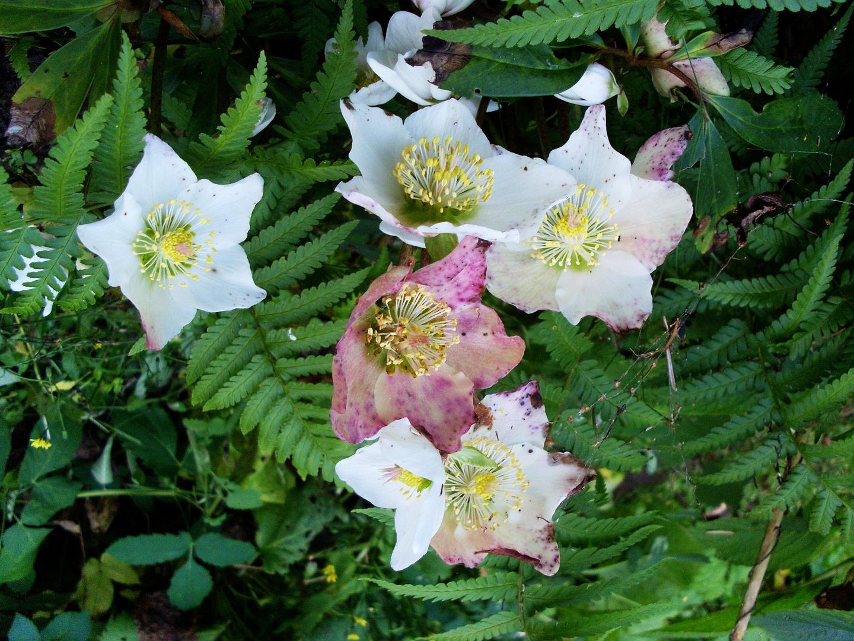 Christrosen in der Blüte