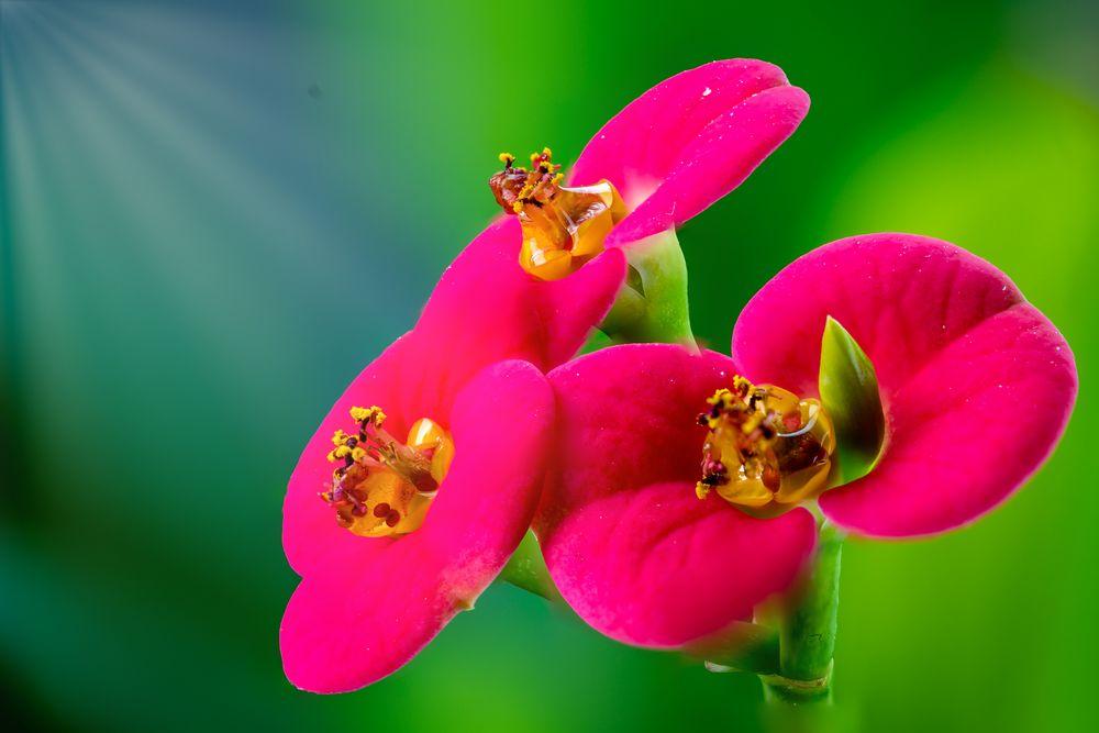 Christusdorn-Blüte