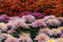 Chrysanthema Lahr 01