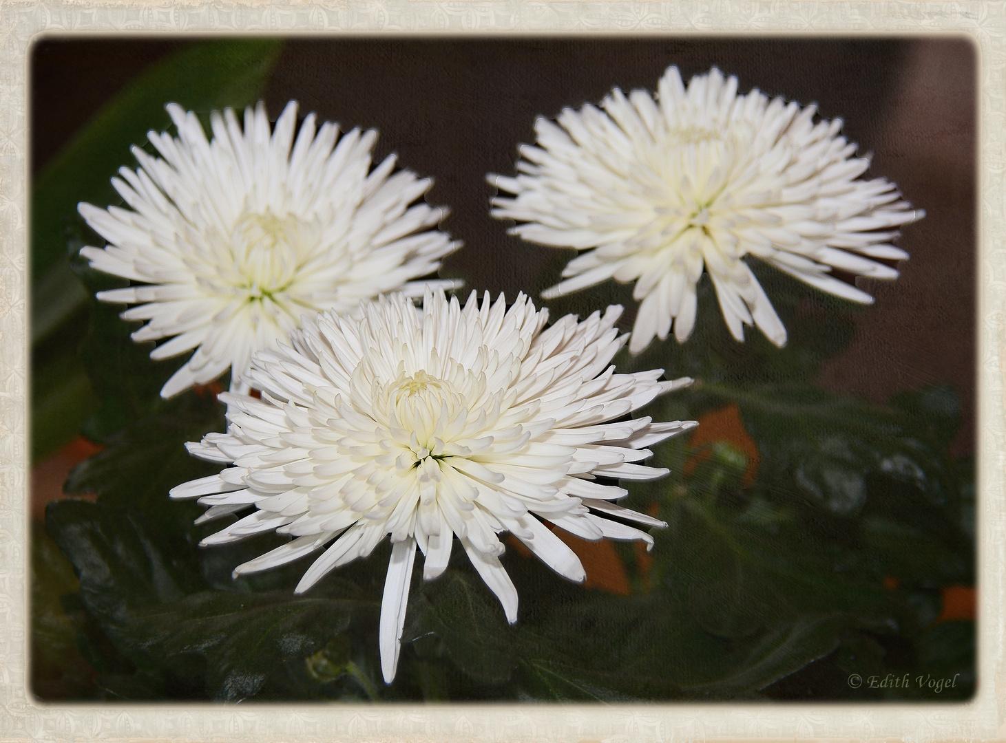 Chrysanthemen..