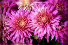Chrysanthemen ...