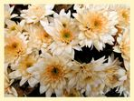 Chrysanthemen .....................