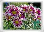 ~ Chrysanthemen ~