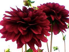 Chrysanthemen rot in weiss
